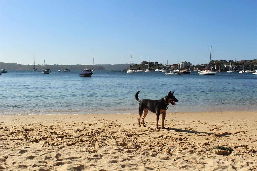 Escape the crowded Sydney beaches at hidden Kutti Beach in Vaucluse, with calm, clear water, soft sand and lush surrounding greenery. It's even dog friendly!