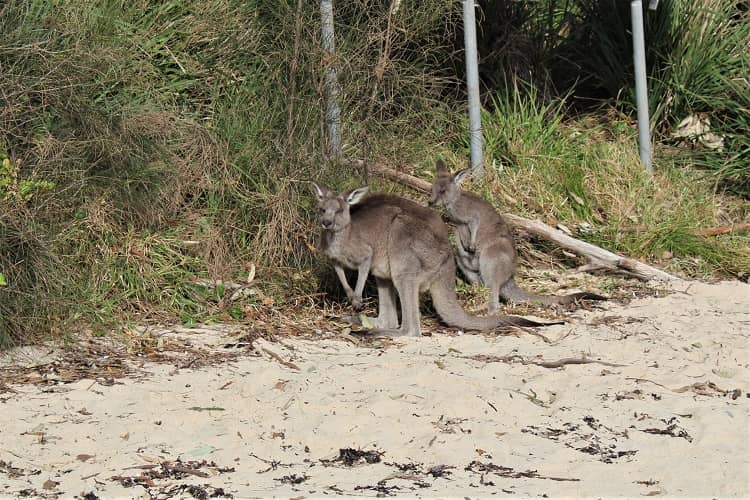 Kangaroos at Honeymoon Bay & campsite, Jervis Bay.