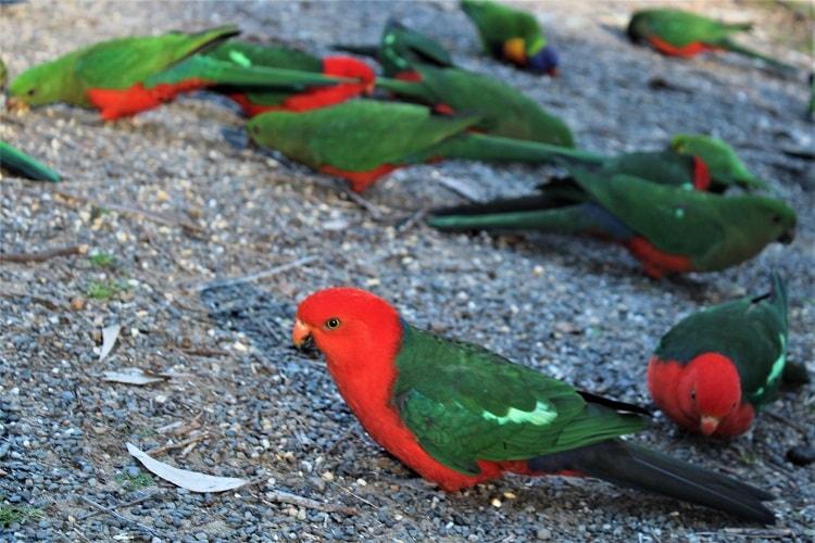 Bird feeding at Pebbly Beach NSW