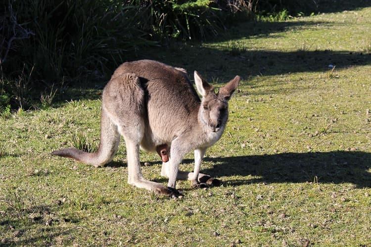 Tiny baby kangaroo at Pebbly Beach near Batemans Bay.