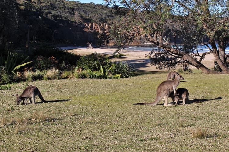 Kangaroos at Pebbly Beach in Australia
