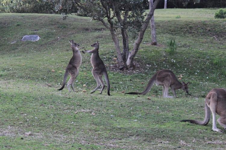 Kangaroo fight at Trial Bay, NSW, Australia.
