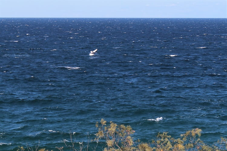Whale spotting in Trial Bay.