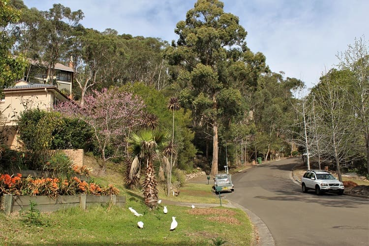 A gorgeous leafy street up in Sydney's St Ives suburb.