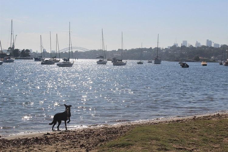 A dog enjoying the beach at Queens Head Reserve in Drummoyne, Sydney.